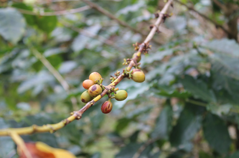 898x530-jamaica_coffee
